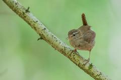 Wren (Gareth Keevil) Tags: baby bird fledgling garethkeevil justoutoftheegg nikon nikon500mm nikond500 rspb rspbswellwoods somerset spring sunshine telephoto uk wren