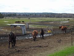 Beautiful horses at Élevage Fabie in Quyon, Quebec (Ullysses) Tags: quyon quebec canada spring printemps pontiac pontiaccounty horse horses cheveau élevagefabie mare mares
