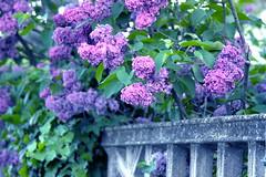 Lilac bloom / Orgonavirágzás (Ibolya Mester) Tags: