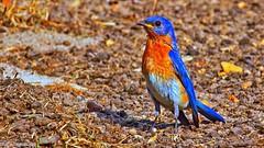 Eastern Bluebird (Bob's Digital Eye 2) Tags: easternbluebird wildbird birds wildlife fauna efs55250mmf456isstm canon flicker flickr