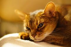 LizZie in the Kamlan lens (DizzieMizzieLizzie) Tags: kamlan50mm11 kamlan 50mm 11 a6500 ilce6500 abyssinian aby lizzie dizziemizzielizzie portrait cat feline gato gatto katt katze kot meow pisica sony neko gatos chat fe ilce pose classic golden bokeh dof 2019 manual