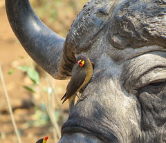 """ Beauty and the Beast ""  -  Yellow-billed Oxpecker and Buffalo (Pixi2011) Tags: krugernationalpark southafrica africa birds big5 buffalo nature portrait buphagusafricanus"