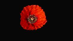 ROSELLA (Joan Biarnés) Tags: rosella amapola macro flor plademartís pladelestany girona panasonicfz1000 314