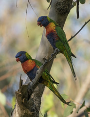 Those Who Screech Together (SteveKPhotography) Tags: sony stevekphotography alpha a99ii ilca99m2 sal70400g2 nature bird avian feathers outdoors bokeh wildlife animal rainbowlorikeet trichoglossushaematodus canningriver westernaustralia
