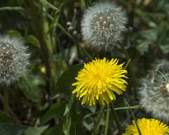 Dandelion (Mel Low) Tags: dandelion flora flower walberswick suffolk suffolkcoast nikond7200