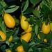 Citrus japonica x aurantifolia - Limequat