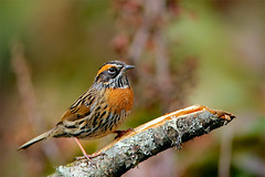 Rufous-breasted Accentor (Rajiv Lather) Tags: rufousbreasted accentor bird birds birding camera canon lens photography image photo nature outdoors birdwatching wildlife avifauna avian passeriformes passeridae prunella strophiata india indian bhutan himalayas birder branch gum aves himalayan mountains pics