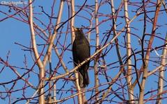Sérénade au coucher du soleil (Carpentras - Vaucluse - 1er mars 2019) (1) (Carnets d'un observateur de la nature du Sud de la) Tags: oiseau merlenoir nature biodiversité carpentras vaucluse provence