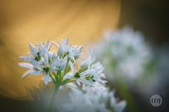 11 @ In Wild Garlic Woods (Marcell Jarvas) Tags: wildgarlic woods alliumursinum flower pla sunrise bokeh sigma 400mm apo apotelemacro sony a7rii