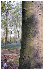 Two Hearts (peterphotographic) Tags: img004edwm twohearts leica leicam6 m6 summarit summaritm35mmf25 ©peterhall chaletwood wansteadpark wanstead eastlondon london england uk britain bluebell wood tree forest trunk carve carving heart graffitti kodak portra portra400 film 35mm scanned analog filmsnotdead spring prime wideangle