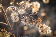 Blüten im Herbst (MarTou72) Tags: marceltourmo sonydscrx100 sony cybershot macro mokro natur nature makro herbst strauch busch wald wiese blüte trocken