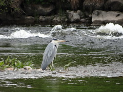 Patience is a virtue (Ian Robin Jackson) Tags: heron wildlife nature sony outside riverdee patience birds aberdeen scotland commonbirds riverbirds rspb countryside britishbirds water waterbirds rivers green scottishrivers flickr landscape