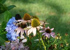 Faded Flowers (jmunt) Tags: gardenflower flowers nature