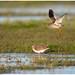 The mating dance of the Common Redshank - Paringsdans van de Tureluur ( Tringa totanus) ...