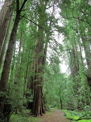 IMG_4652 (2) Green Redwoods (jgagnon63@yahoo.com) Tags: redwoods redwoodforest forest muirwoods nationalmonument federallands thislandisyourland trees green greenliness california canong1x