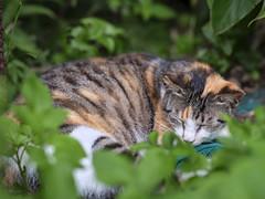 GFX50S__DSF4131_C1 (Bazoka+Cynthia) Tags: cat lori 小婆 新北市 猴硐 瑞芳區 貓 阿偉