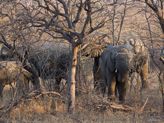 In Family (Nebelang) Tags: parque nacional kruger national park sudafrica southafrica mpumalanga animales animal vida salvaje wild life wildlife reserva privada private reserve moditlo river lodge septiembre september enfamilia infamily elefante elephant