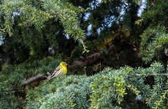 Serin cini (JeanJoachim) Tags: serincini serinusserinus europeanserin passeriformes fringillidae oiseau bird vogel aves uccello fågel fugl pássaro バード lintu птица ptak girlitz pentaxk5iis smcpentaxda300mmf4edifsdm