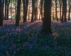 Bluebell Light (jactoll) Tags: oxfordshire spring bluebells bluebellwood wildflowers woodland light sony a7iii sony2470mmf28gm jactoll badburyclump