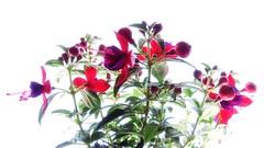 Just Beauty (Robert Cowlishaw (Mertonian)) Tags: 4u mertonian robertcowlishaw canonpowershotsx70hs canon powershot sx70hs red passion ineffable awe wonder blowout passionpush beauty beautiful spring2019 parasophia