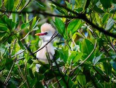 Garcilla Bueyera II (Bubulcus ibis) (dadoimages) Tags: garcilla garza manglares mangles lagunagrigrí riosanjuan republicadominicana aves observaciondeaves bubulcusibis