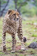 Sithle standing (Tambako the Jaguar) Tags: cheetah big wild cat posing standing portrait face grass savanna stone lionsafaripark johannesburg southafrica male nikon d5