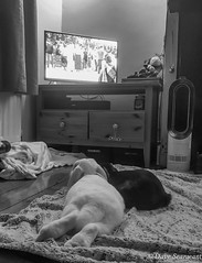 Watching the TV (daveseargeant) Tags: rabbit tv watching marble nova medway rochester kent iphone 7 plus