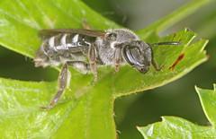 Lasioglossum sexnotatum female (timz501) Tags: bee lasioglossumsexnotatum jersey