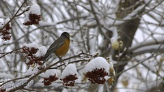 spring robin (zawaski -- Thank you for your visits & comments) Tags: alberta beauty 4hire serves canada noflash springsnow naturallight revisit zawaski©2019 calgary love ambientlight paris lovepeace 2007 editing canonefs55250mmf456isstm zawaski finephotography photog ambieantlight