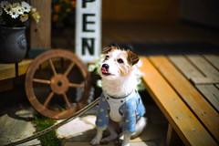 Lick (moaan) Tags: tanba hyogo japan dog jackrussellterrier kinoko portrait dogportrait dogphotography candid candidshot bokeh bokehphotography dof leica leicamp type240 noctilux 5mm f10 noctilux50mmf10 leicanoctilux50mmf10 urata 2019