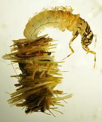 Northern Casemaker Caddisfly Larva