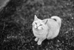 White Cat (All Aspects of Photography) Tags: 35mm leica m3 fp4 pmk pyro film farm livestock goat sheep dog cat