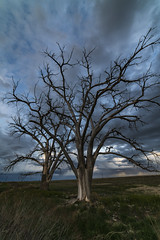Dancing Cottonwoods (Tom Herlyck) Tags: amazing america a7rii awesome adobe beautiful colorado camera clouds cloudy cottonwoodtree decaying decay digital day easterncolorado exposure evening flickr farm greatamericandesert grass green highplains image idyllic imaginitive april landscape lightroom light natural old outdoors outside pueblocounty prairie pueblo ranch sky southeastcolorado southeasterncolorado southerncolorado sunset spring trees usa