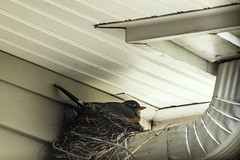 Laying Her Eggs Daily (Carol (vanhookc)) Tags: robin nest ourhouse frontporch layingeggs