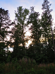 Trees In Our Backyard. (dccradio) Tags: lumberton nc northcarolina robesoncounty outdoor outdoors outside nature natural tree trees branch branches treebranches treelimb treelimbs sunday may evening sundayevening goodevening weekend sky clouds wooded woods landscape canon powershot elph 520hs