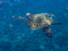 Chelonia mydas : Hawaiian Green Sea Turtle/Honu (dmills727) Tags: hawaii kapalua maui herp reptile turtle underwater