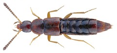 Cousya longitarsis (Thomson, 1867) Syn.: Chilomorpha longitarsis (Thomson, 1867) (urjsa) Tags: coleoptera kaefer beetle insect staphylinidae chilomorpha longitarsis chilomorphalongitarsis britain england taxonomy:binomial=chilomorphalongitarsis taxonomy:order=coleoptera taxonomy:family=staphylinidae taxonomy:genus=chilomorpha taxonomy:species=longitarsis geo:country=england coleopteraus insekt cousyalongitarsis cousya taxonomy:binomial=cousyalongitarsis taxonomy:genus=cousya
