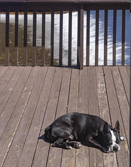 Springtime is here! He's been waiting to do this for 6 months :-) (lezumbalaberenjena) Tags: spring primavera ottawa river trail dog perro chien boston terrier bully