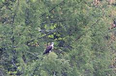 mttom2019-200 (gtxjimmy) Tags: nikond7500 nikon d7500 tamron 150600mm holyoke massachusetts newengland spring bird mttom osprey hawk fishhawk raptor birdofprey