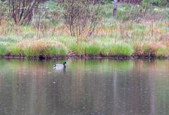 mttom2019-199 (gtxjimmy) Tags: nikond7500 nikon d7500 tamron 150600mm holyoke massachusetts newengland spring bird mttom duck mallard fowl