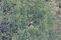 mttom2019-198 (gtxjimmy) Tags: nikond7500 nikon d7500 tamron 150600mm holyoke massachusetts newengland spring bird mttom osprey hawk fishhawk raptor birdofprey
