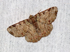 ecosystem/fauna/Geometrid Moth(Lophophelma luteipes ssp. ruficosta) (biodiversity western ghats(before it is gone)) Tags: taxonomy:binomial=lophophelmaruficosta geometridae geometrinae pseudoterpnini diversityindia indianmoths
