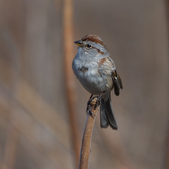Posing beauty (anniebevilacqua) Tags: bruant bruanthudsonien americantreesparrow boisdeléquerre sparrow