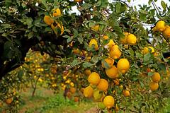 Sizilien - das Land wo die Zitronen blühen (Mariandl48) Tags: zitronenplantage zitronen sizilien zitronenblüten