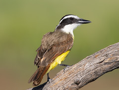 Great kiskadee (Elizabeth Wildlife) Tags: great kiskadee tx texas laguna seca ranch greatkiskadee