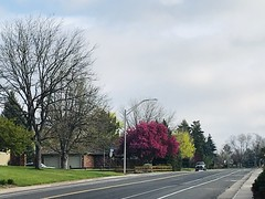 133/365/8 (f l a m i n g o) Tags: project365 365days street road arvada spring tree pink green light morning may 6th 2019 monday 41800