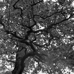 Branch Out (4foot2) Tags: allsaintschurchwarlingham allsaintschurch warlingham church churchyard oak tree quercus branch trunk leaves lookingup analogue film filmphotography 120film mediumformat bw blackandwhite monochrome mono kiev kiev88cm 88cm киев88cm ukrainiancamera carl zeiss jena biometar 80mm 28 carlzeissjenabiometar80mm28 carlzeissjena biometar80mm28 czj ilfordfp4plus fp4plus standdevelop rodinal 2019 fourfoottwo 4foot2 4foot2flickr 4foot2photostream