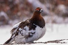 Willow Ptarmigan (Dan King Alaskan Photography) Tags: willowptarmigan lagopuslagopus ptarmigan chicken denalinationalpark alaska avian bird noise sound canon80d sigma150600mm