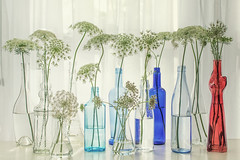 Queen Anne's Lace in Glass Bottles Still Life (Chickens in the Trees (vns2009)) Tags: queenanneslace flower wildflowers nature stilllife window glass bottles floral botanical stems