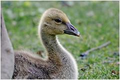 Greylag goose, gosling - Grågås, gæsling, Kagsmosen (www.nielsdejgaard.dk) Tags: gås gæsling babygoose greylaggoose kagsmosen bird fugl grågås gosling